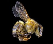 Microphotography by Michael Crutchley (honeybee)