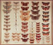 Shayer Moth Collection - 1